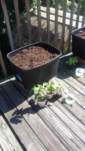 We started out planting. This is the peppers.